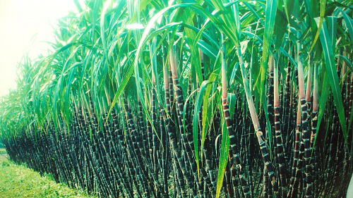 Fresh sugarcane Hoa Binh for the first time exported to Japan market